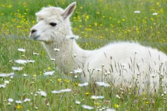 Zaskakujące ciekawostki, fakty i informacje o alpakach