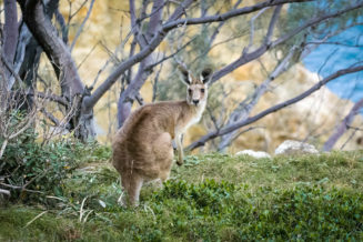13 zaskakujących ciekawostek o kangurach