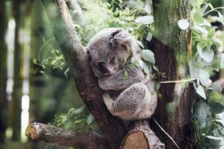 18 zaskakujących ciekawostek o misiach koalach z Australii