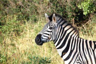 17 Interesujących Ciekawostek o Zebrach