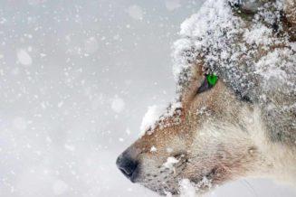 31 Zaskakujących Ciekawostek o Wilkach