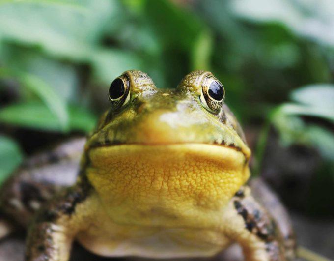 buzia żaby