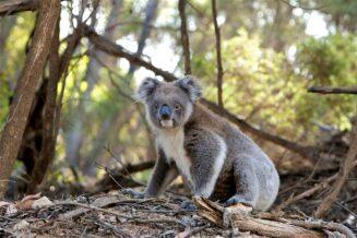 10 ciekawostek o koalach